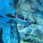 旭山動物園の空飛ぶペンギン