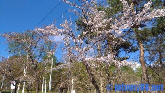 美唄市の東明公園の桜