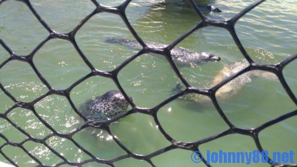 稚内市立ノシャップ寒流水族館のアザラシ