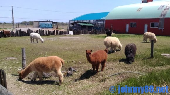 アースドリーム角山農場アルパカ牧場