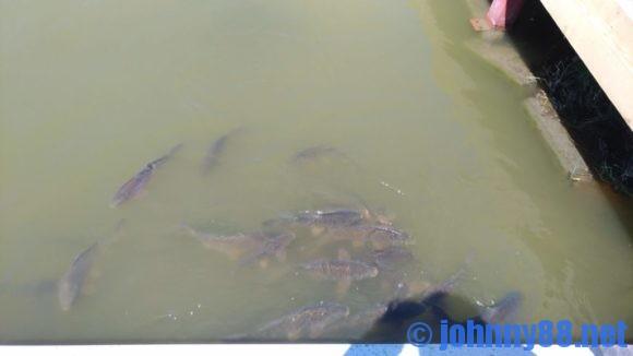 アースドリーム角山農場の池の魚
