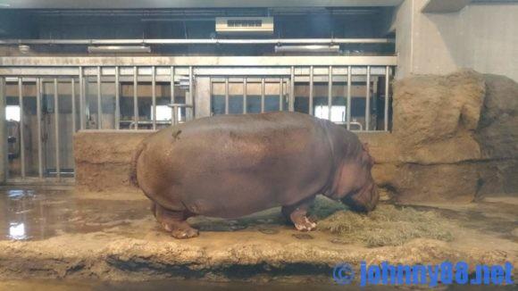 円山動物園のカバ