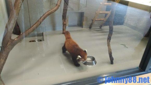 円山動物園のレッサーパンダ
