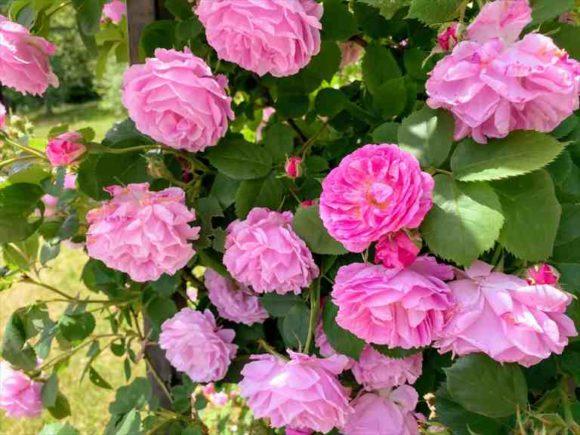 風のガーデン「薔薇の庭」