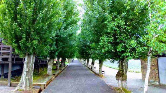 ファーム富田のポプラ並木