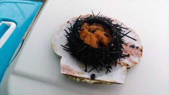 厚田漁港朝市で購入したムラサキウニ