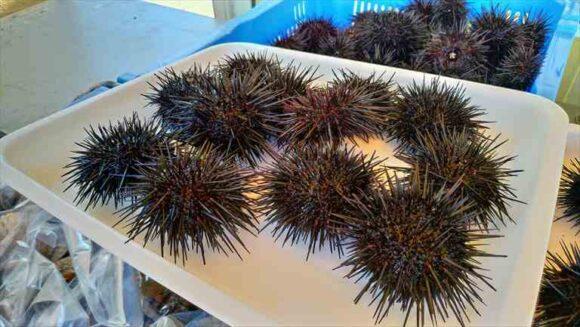 厚田漁港朝市で販売されているムラサキウニ