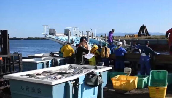 厚田漁港朝市に水揚げされる秋鮭